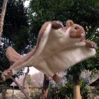 オリジナル制作ぬいぐるみ 哺乳類 ムササビ(体重再現)