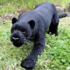 オリジナル制作ぬいぐるみ 哺乳類 黒豹(クロヒョウ)